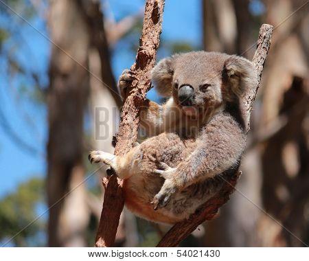 Australian koala in gum tree