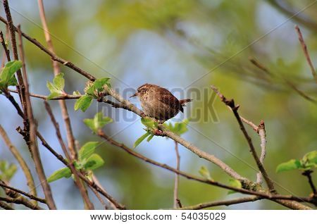 Wren Perched On A Branch.