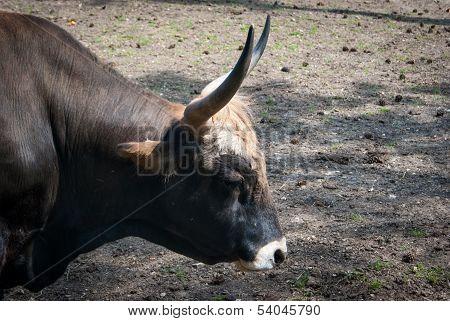 bull-head