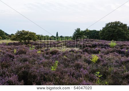 Filds Of Blossoming Heather