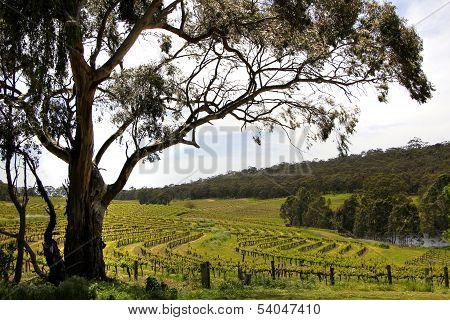 Spring Vineyard Landscape