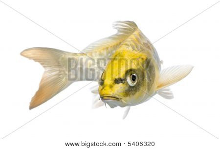 Yellow Koi Ogon- Cyprinus Carpio