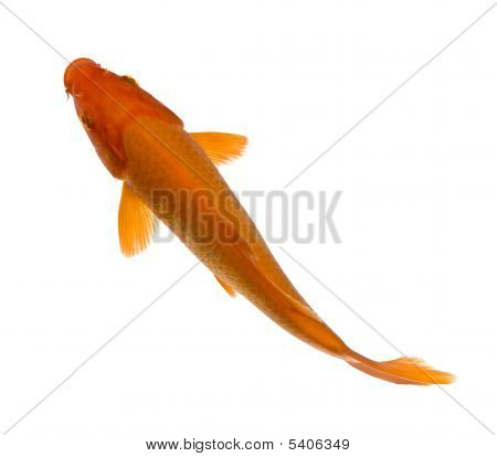 Orange Koi - Cyprinus Carpio