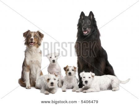 Group Of 5 Dogs; 4 Parson Russell Terrier, A Australian Shepherd And A Mixed-breed