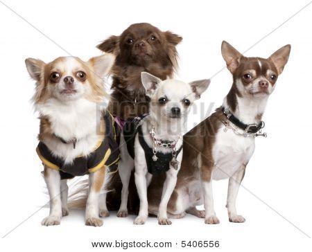 Grupo de 4 Chihuahuas vestida-se