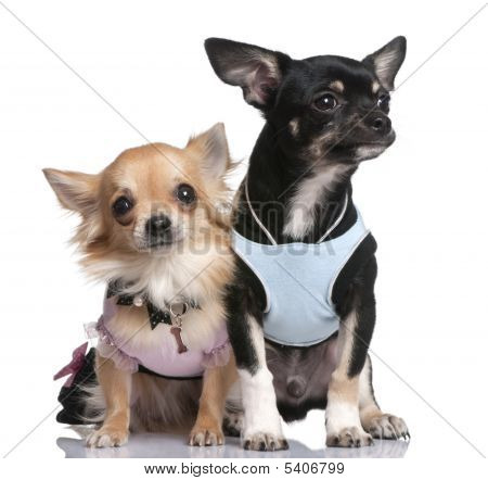 Chihuahuas vestida-se