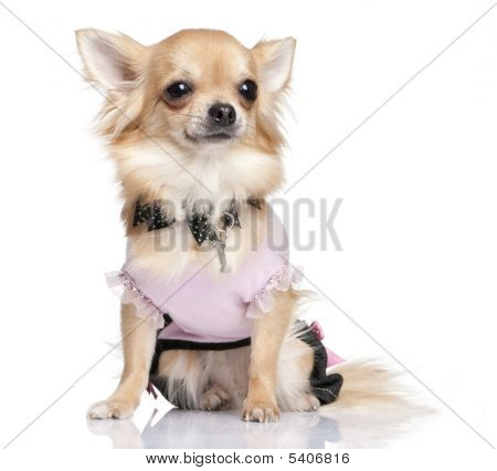 Chihuahua Dessed-up