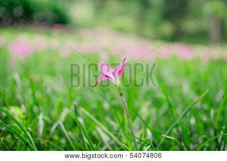 Zephyranthes Lily Or Rain Lily On Green Grass
