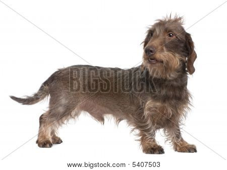Brown Wire-haired Dachshund (3 Years Old)