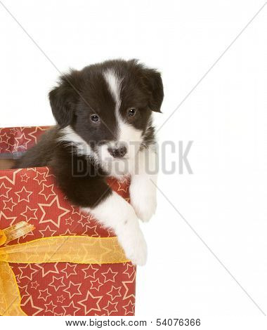 Adorable border collie puppy asking to get out of a christmas present