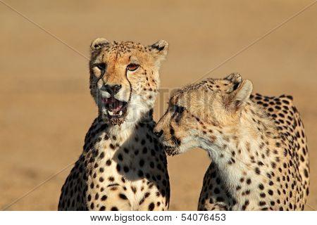 Portrait of two cheetahs (Acinonyx jubatus), Kalahari desert, South Africa