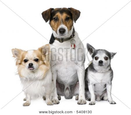 Goupe Of Dog: Two Chihuahuas And A Jack Russell