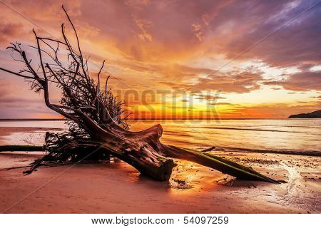 Dead tree trunk on tropical beach in sunset time