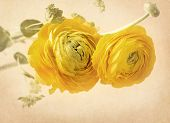 stock photo of yellow buds  - Ranunculus flowers on yellow background - JPG