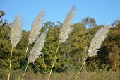 picture of bull rushes  - five rushes with woods in background in fall - JPG