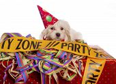 foto of hairy tongue  - maltese dog with party hat with white background - JPG