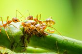 stock photo of aphid  - Red ant and aphid on the leaf in the nature