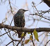 stock photo of aerobatics  - Common starling is perched in a tree - JPG