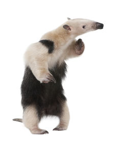 picture of honkers  - Collared Anteater - JPG