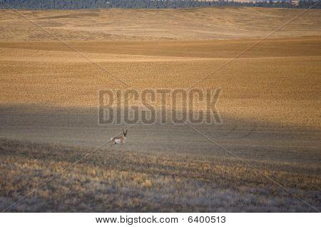 Solitary Antelope