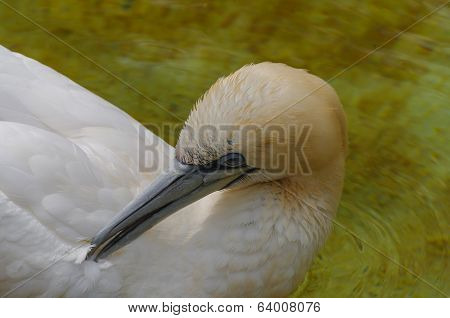 Resting Gannet At The North Lake, Germany