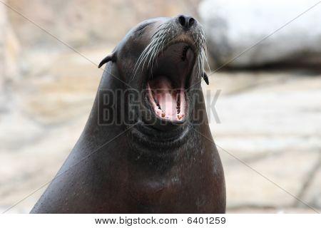 A feeded sea lion dozed off