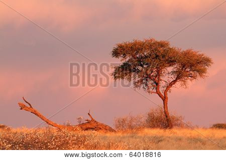 Desert landscape with an Acacia tree and  cloudy sky at sunset, Kalahari desert, South Africa