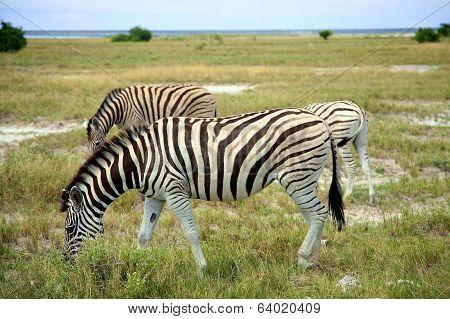 Grazing Zebra In Etosha