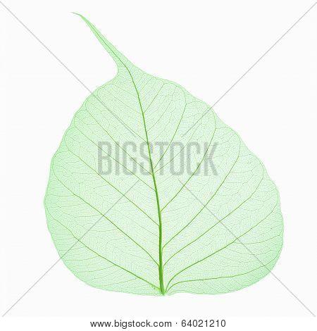 Bodhi Leaf Vein Isolated