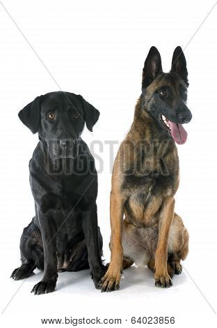 Malinois And Labrador Retriever