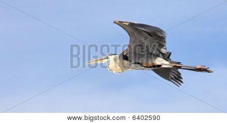 Grey Blue Heron Egret Flying in Florida