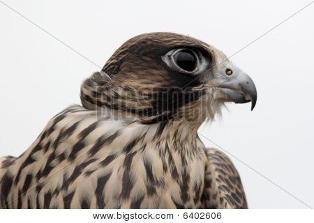 Eagle in Alaska