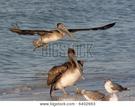 Pelican landing on the beach