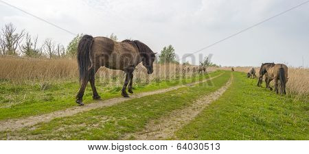 Konik horses walking over a path