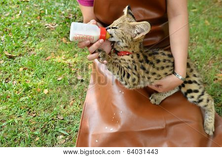 Zookeeper Feeding Baby Serval