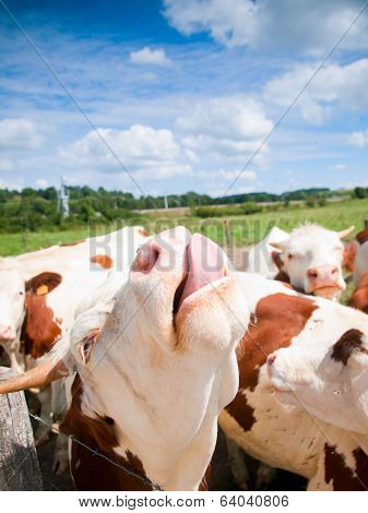 Funny Close Up Of A Cow Grazing In A Field In The Summer