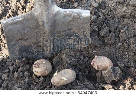 Planting Potato Tubers Into Soil