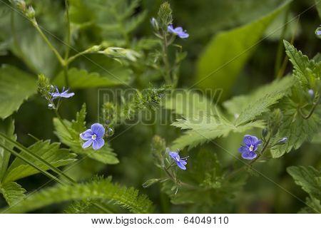 Veronica Flower