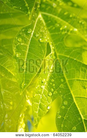 Wet Droplets On Green Leaves