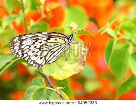 Dotted butterfly (Idea leuconoe)