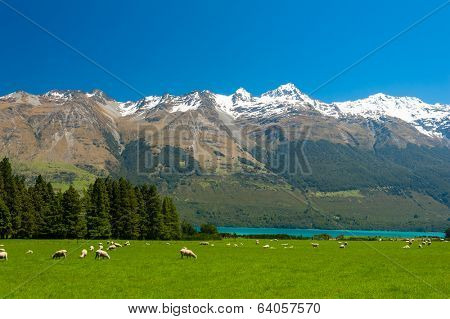 Beautiful landscape of the New Zealand - hills covered by green grass with herds of sheep with mighty mountains covered by snow and lake Wakatipu behind. Glenorchy, New Zealand