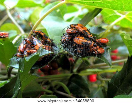 Milkweed Bugs On Milkweed And Holly Leaves