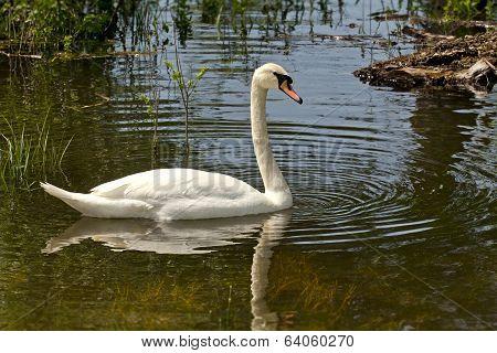 Swan In The Marsh