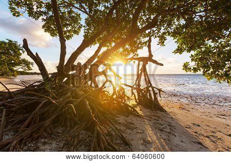 Mangrove tree in Florida coast