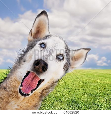 a funny husky on a bright background in a park or backyard