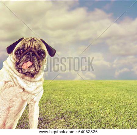 a cute pug at a local park