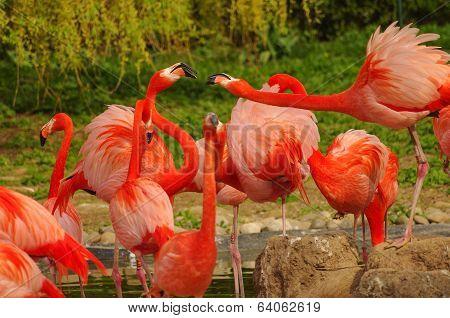 Rosy Flamingo At The Spring Lake