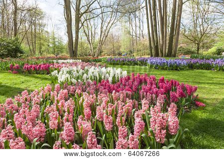 Colorful flowers and blossom in dutch spring garden Keukenhof