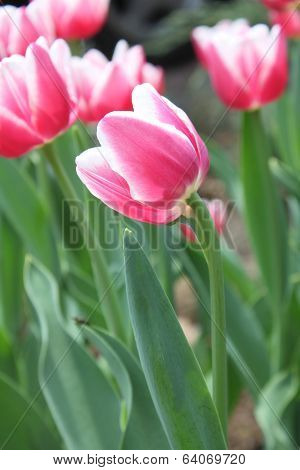 Pink And White Tulips