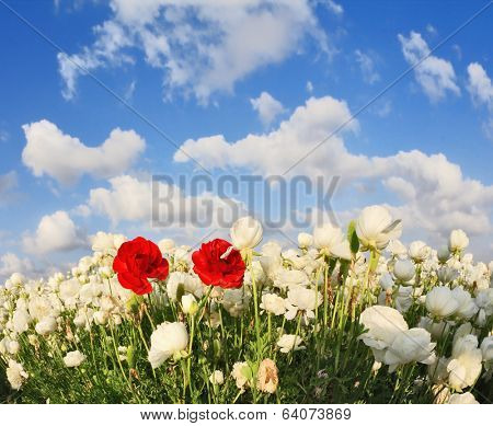 Field of white garden buttercups ranunculus asiaticus, including two red blossom buttercup